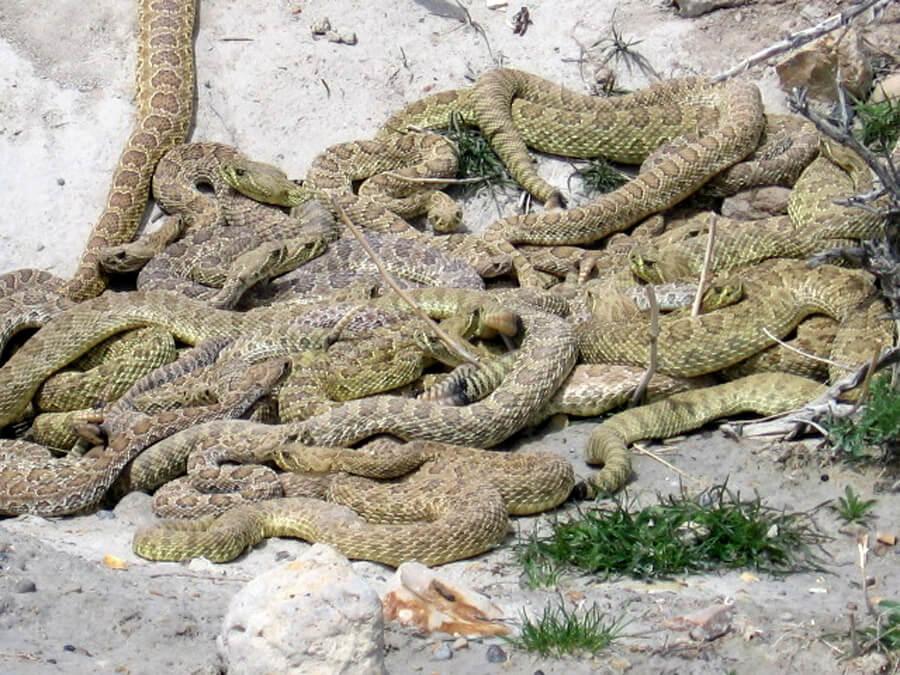 Serpiente venenosa en el pantano de San Juan - Noticias - admaplagas.es