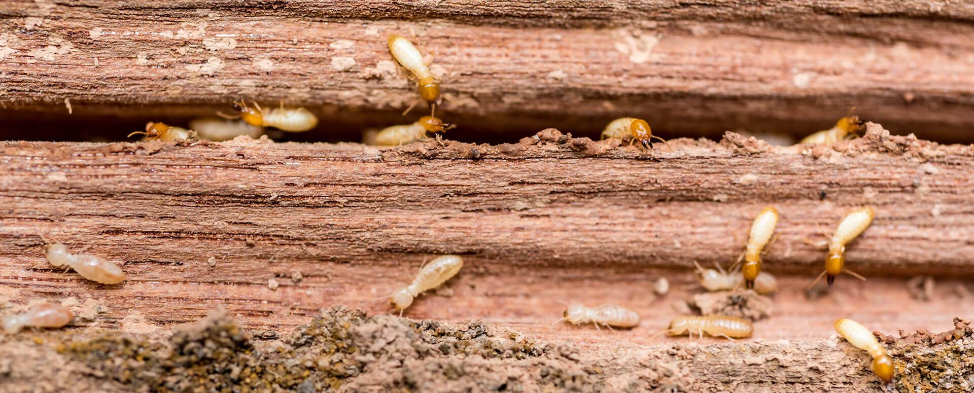 Tratamiento de termita