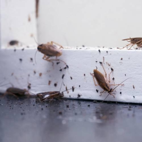 ¿Cómo pueden afectar las cucarachas a la salud?