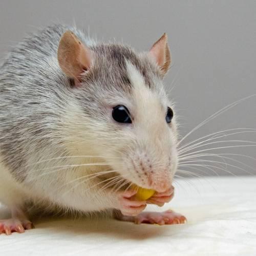 Consejos para prevenir una plaga de ratas en el hogar