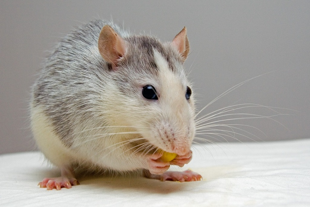 prevenir una plaga de ratas en el hogar