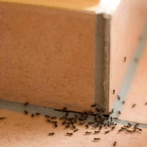 Deshacerse de las hormigas en casa: ¿Es posible?